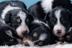 Puppies (The Papa'razzi of dogs) Tags: bordercollie puppy dogs