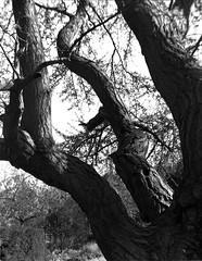 Ginkgo Tree (biker500) Tags: homemadelens 5x4 nagaoka ilfordfp4 rodinal tree ginkgo