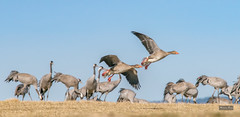Not all cranes (m3dborg) Tags: hornborgasjön trandans crane cranes dancing bird birds bif birdsinflight water lake sweden skara wings magnus borg fotograf wing beak wildlife nature wilderness ngc