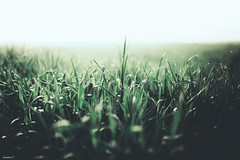 (suzcphotography) Tags: grass nature morning dew mist fog macro field canon bokeh 5dmarkii 50mm