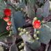 PHX Desert Botanical Garden Prickly Pear Blooms IMG_2183