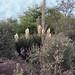 PHX Desert Botanical Garden IMG_2181