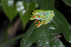 Red-eyed Tree Frogs Mating (featherweight2009) Tags: redeyedtreefrog agalychniscallidryas frogs reptiles animals