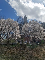 4-15-2019: Dogwoods in the city. Boston, MA