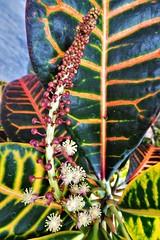 20190415 CODIAEUM VARIEGATUM (lasertrimman) Tags: 20190415 codiaeum variegatum codiaeumvariegatum croton crotonplant flower flowers