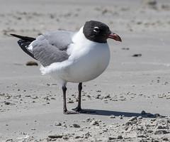 serene laugher (Mark.Swanson) Tags: featherfest galveston texas bird gull laughinggull leucophaeusatricilla beach gulf galvestonisland