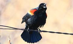 red-winged blackbird male near Norman Borlaug's birthplace IA 653A9940 (naturalist@winneshiekwild.com) Tags: redwinged blackbird male norman borlaugs birthplace howard county iowa larry reis