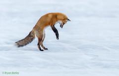 Red Fox (bbatley) Tags: wildlife mammal fox redfox