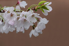 Vancouver 温哥華 (syue2k) Tags: british columbia 不列顛哥倫比亞省 vancouver 温哥華 cherry blossom season 樱花季節 sakura