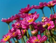 Colorful spring /Farbenfroher Frühling (Mike Reichardt) Tags: dwwg flower flowerpower blume blüte blossom garden garten outdoor outside pink rosa beautifulnature spring frühling