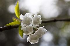 Hanami (Gerard Hermand) Tags: 1904158273 gerardhermand france paris canon eos5dmarkii sceaux branche branch blossom cerisier cherry arbre fleur garden jardin parc park white blanc tree