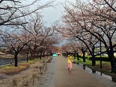 20190401_172638-IMG_6800 (dudegeoff) Tags: osaka japan 2019 april osakacastle 20190323b0401bkixosakacastle cherryblossoms rain flowers