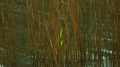 Первые ростки камыша / First sprouts of reed (Владимир-61) Tags: весна апрель природа озеро камыш ростки зеленый spring april nature lake reed sprout green sony ilca68 minolta75300 natureinfocusgroup