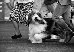 best in show (gro57074@bigpond.net.au) Tags: april monochromatic monotone monochrome mono bw blackwhite dog legs running show f60 sport sigma 150600mm d850 nikon guyclift 2019 eastershow sydney royaleastershow