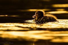 Lost little Duckling (budgiepaulbird) Tags: canon7dmark2 100400mark2 ducklings ducks goldenhour water waterfowl lake eveninglight eveningsun