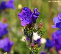 Spring flower (lauracastillo5) Tags: flower flowers floral bloom blooming spring field nature garden outdoors