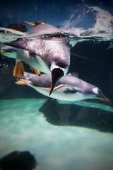 Gentoo Penguin (iainwalker) Tags: swimming penguin bird avian water tank melbourneaquarium melbourne samsunggalaxy 2019 colony beak blue display city kingstreet