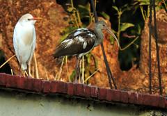 Cattle Egret, Bubulcus ibis and White Ibis, Eudocimus albus (asterisktom) Tags: mexico2019aprilmay mexico chiapas 2019 april tonala bird vogel ave 鸟 птица 鳥 pajaro cattleegret bubulcusibis egret whiteibis eudocimusalbus ibis
