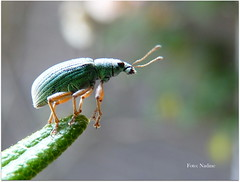 A well-balanced life: essential for personal effectiveness and peace of mind (Nadine V.) Tags: snuitkever curculionoidea weevil kever beetle panasonic panasonicdmcfz200 insect fz200 dmcfz200 inourgarden polydrusussericeus groenestruiksnuitkever greenimmigrantleafweevil