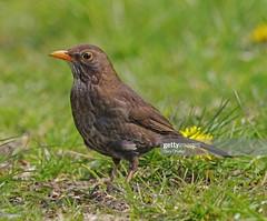 Blackbird female (Gary Chalker, Thanks for over 4,000,000. views) Tags: blackbird bird female pentax pentaxk3ii k3ii pentaxfa600mmf4edif fa600mmf4edif fa600mm 600mm