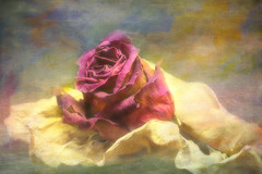 """""""The wound is the place where the Light enters you."""" ― Rumi (LotusMoon Photography) Tags: rose flower dreamy digitalpainting digitalart layers textures softfocus artistic artwork artsy hopeful peaceful peace romantic annasheradon lotusmoonphotography"""