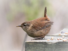 Wren (doranstacey) Tags: nature wildlife birds wren ulley countrypark tamron 150600mm nikon d5300 troglodytes
