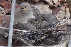 Mourning dove, two squabs (johnmcochran2012) Tags: districtofcolumbia dc washington hilleast dove chicks nesting nest citybirds squab mourningdove