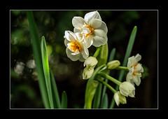 """Narzisse """"Cheerfulness"""" (3) (Pippilotta aus dem Tal) Tags: sel90m28g"""