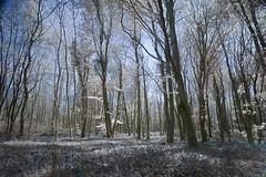 Killinthomas bluebells reprocess (Wendy:) Tags: killinthomas infrared hitech prostopndir6 filter ir bluebells woods forest kildare