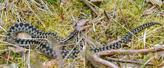 Adder on a dull day (ukmjk) Tags: adder reptile staffordshire cannock chase nikon nikkor d500 200500 vr wildlife trust