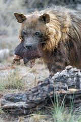 Brown hyena with meat (Tambako the Jaguar) Tags: brown hyena femnale fluffy portrait face close holding meat food eating standing enclosure grass vegetation safari lionsafaripark johannesburg southafrica nikon d5