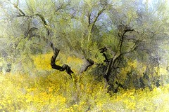 """If you truly love nature, you will find beauty everywhere.  ~~ Laura Ingalls Wilder"" (Irene2727) Tags: tucson nature desert yellow flowers trees landscape scape panorama"