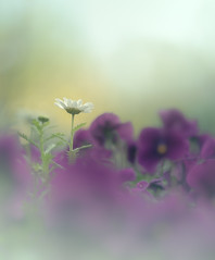 white on purple (Tomo M) Tags: marguerite pansy flower nature light bokeh spring helios