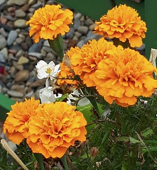 Marigolds (sweetpeapolly2012) Tags: garden gardenflower flowers leaves orange marigold