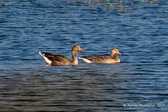 Greylag Goose (Ashley Middleton Photography) Tags: cricklade lmf animal bird england europe goosegeese greylaggoose lowermoorfamnaturereserve unitedkingdom wiltshire cotswoldwaterpark