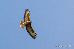 Buzzard (Ashley Middleton Photography) Tags: cricklade lmf animal bird birdofprey buzzard england europe lowermoorfamnaturereserve unitedkingdom wiltshire cotswoldwaterpark