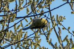 Blue Tit (Ashley Middleton Photography) Tags: cricklade lmf animal bird bluetit england europe lowermoorfamnaturereserve titmouse unitedkingdom wiltshire cotswoldwaterpark