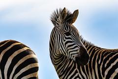 Eehhh.....Just checking.... (zimbart) Tags: malawi nyikaplateau africa fauna vertebrata mammals perissodactyla equidae equus equusquagga