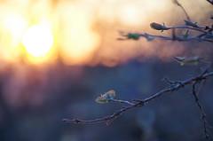 IMGP7423 (PahaKoz) Tags: весна природа сад spring nature garden закат жимолость бутон вечер evening even eventide sunset honeysuckle