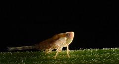 Leaf Hopper (Craig Tuggy) Tags: thailand bangkok macro reverse lens stack insect nature leaf hopper