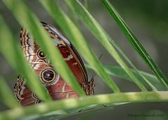 Papillon Morpho bleu - Common Morpho Butterfly (Monique Coulombe) Tags: jardinbotaniquedemontréal moniquecoulombe macro montrealbotanicalgarden butterfly butterfliesgofree papillon papillonsenliberté morpho morphobleu macrophotography insecta morphohelenor lepidoptera nymphalidae morphinae bokeh naturebokeh naturephotography insecte