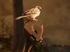 Avecillas (112) (calafellvalo) Tags: pájaros aves pajaritos avecillas birds oiseaux ocells aus hide calafellvalo littlebirds plumas amigos bellezas armonía