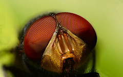 Fly close detail (Craig Tuggy) Tags: thailand bangkok fly macro reverse lens nature insect