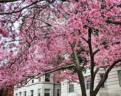 favorite tree (ekelly80) Tags: dc washingtondc spring march2019 cherryblossoms pink flowers tree