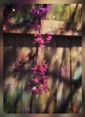 Spring fantasy.... (Sherrianne100) Tags: ozarks pink springfieldmissouri fence blooming flowering tree missouri