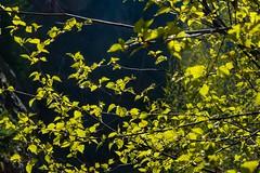 Es wird Frühling: Jungbirkenblätter  young birch leaves (goessmuehle) Tags: gegenlicht frühling spring leaves blätter forest forst wald birke