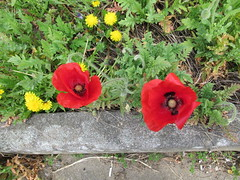 Photo of Tuesday, 16th, Two Poppies IMG_5717