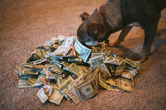 A pile of cash and a dog. (M///S///H) Tags: lenstagger cash dog dollars interested money pup puppy smell stella