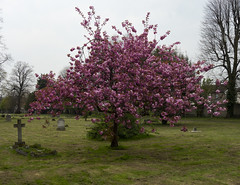 Queen's Road Cemetery (London Less Travelled) Tags: uk unitedkingdom britain england london southlondon croydon city urban suburban suburbia suburb outskirts cemetery grave tomb tree blossom queensroad thorntonheath