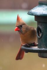 Lady Cardinal (leehobbi) Tags: cardinal bird birds nature backyard red mohawk feeder birdsnaturebackyard